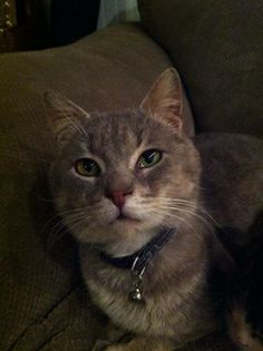 Cat ready for adoption: Domestic Short Hair named Tom in Ashland, KY