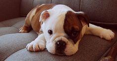cute cute cute! Bulldog puppy.