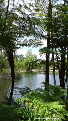 Tree ferns at the waters edge