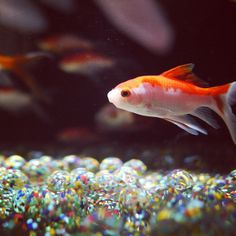 日本橋 Art Aquarium の金魚ちゃん。