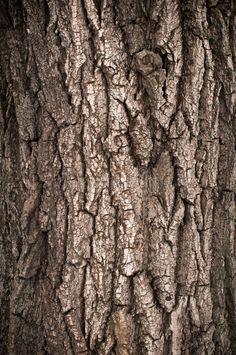 Tree Trunk Drawing, Oak Tree Drawings, Oak Tree Bark, Wood Bark, Texture Photography, Close Up Photography, Tree Bark Identification, Yerba Santa, Weird Trees