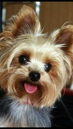 Yorkshire terriers, also know as Yorkies may suffer of certain health issues. Knowing the health problems of your Yorkie can help yo keep his yearly veterinary visit Yorky Terrier, Yorshire Terrier, Terrier Breeds, Bull Terriers, Yorkies, Yorkie Puppy, Cute Puppies, Cute Dogs, Dogs And Puppies
