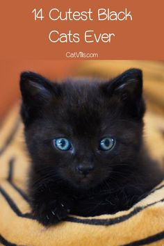 Love black cats as much as we do? You'll really adore these 14 super cute pictures of black kitties being their darling selves! Check them out! Kittens Playing, Baby Kittens, Cute Cats And Kittens, Cute Black Cats, White Cats, Cat Behavior Problems, First Time Cat Owner, Best Cat Breeds, Funny Cat Memes