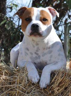 Keeping an eye on! Staffy Dog, Terrier Breeds, Dog Breeds, Bull Terriers, English Staffordshire Bull Terrier, Cute Pitbulls, Pitbull Boxer, Nanny Dog, Dogs
