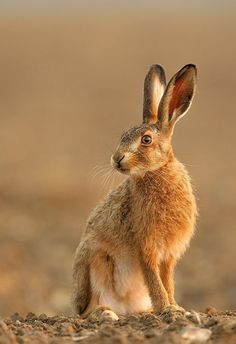 beautiful-wildlife: Brown Hare by Simon Litten