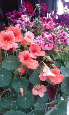 Florile mele ...colțunași si mușcate
