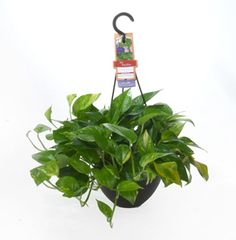 Ficus elastica decora common name ficus burgundy robusta it is extremely hardy and can tolorate - Hardy office plants ...
