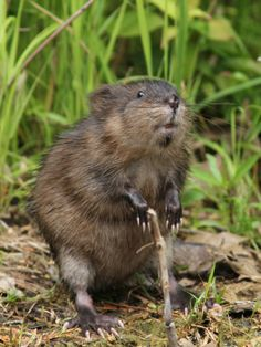 Learn about muskrats!