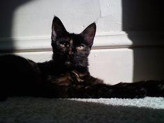my tortoiseshell kitty, Minnie