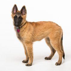 Belgian Tervuren pup