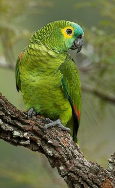 Blue-fronted Amazon (Amazonia aestiva). A South American parrot common in the pet trade. photo: Octavio Campos Salles.