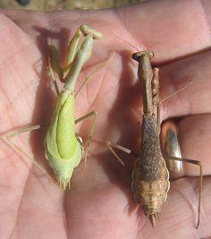 California Mantis (Stagmomantis californica) - female
