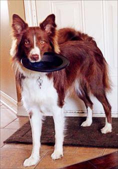 """""""Who wants to play frisbee?!"""" Beautiful Border Collie"""