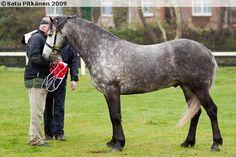 Connemara - stallion Runnymeade Obie Trice