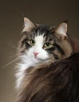 mackerel tabby and white norwegian forest cat - picture pretty kitty