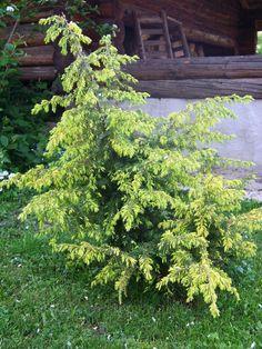 Juniperus communis `Schneverdinger Goldmachangel` - Google otsing Juniperus Communis, Yard, Gardening, Google, Plants, Ideas, Pine Tree, Firs, Patio