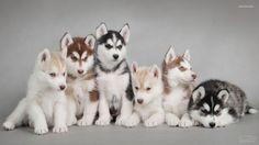 Why People Love Siberian Husky from all other breeds? Are they look like a cat or like a Wolf? A Group photo of Siberian Husky Puppies.