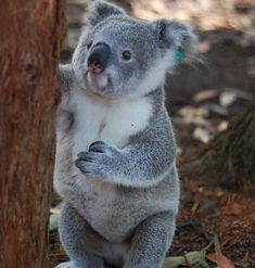 How Would YOU Caption This?🐨 Tag a Koala Lover👇 . Repost 📸: Dm for credit . Baby Koala, Baby Sloth, Koala Bears, Animal Pictures, Cute Pictures, The Wombats, Animal Faces, Baby Puppies, Koalas
