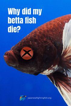Why did my betta fish die? - Betta Fish Causes of Death - JapaneseFightingFish.org