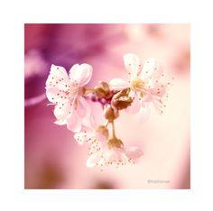 Sakura Flowers 5x5 Photo van fritzifranzen op Etsy, €7.00