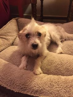 Evie Jack Russell Terrier Chinese Crested Dog mix new