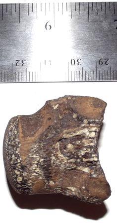 Mosasaur vertebra, other side.  1-24-16