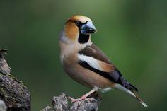 Hawfinch ( L: Coccothraustes coccothraustes / N: Kjernebiter )