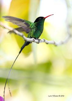 Jamaican hummingbird. © 2013 Larry Williams