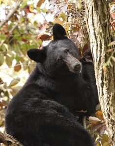 A beautiful black bear relaxing in a tree at Cades Cove Animals And Pets, Baby Animals, Cute Animals, Wild Animals, Baby Pandas, Love Bear, Big Bear, Beautiful Creatures, Animals Beautiful