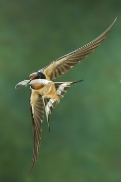 Barn swallow feathering his nest
