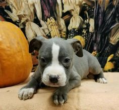 Hallow is an adoptable Pit Bull Terrier searching for a forever family near Modesto, CA. Use Petfinder to find adoptable pets in your area.