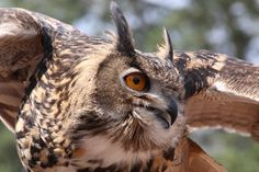 Eurasian Eagle Owl by GeorgeABoyle