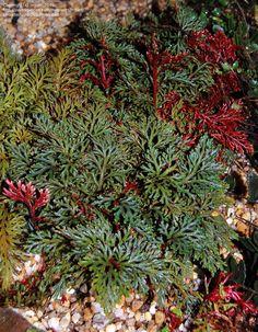 Red Selaginella  Selaginella erythropus