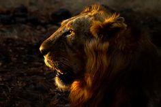 When Light Matters The Most - Portrait of male Asiatic lion in the beautiful golden light.