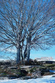 Vecchio faggio in Lessinia