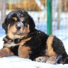ТИБЕТСКИЙ МАСТИФ - Питомник dogs4you-lux.com