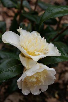 Camellia japonica 'Brushfield's Yellow' (Australia, 1970)