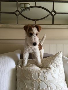 Fox Terriers, Perro Fox Terrier, Wirehaired Fox Terrier, Terrier Breeds, Wire Fox Terrier, Dog Photos, Dog Pictures, Cute Puppies, Cute Dogs