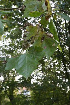 Esdoorn leaf.