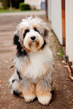 All about the Australian Mountain Doodle: info, characteristics, temperament, and more! Find out if the Bernedoodle is the right fit for you! Cute Dogs And Puppies, I Love Dogs, Pet Dogs, Doggies, Beautiful Dogs, Animals Beautiful, Cute Baby Animals, Animals And Pets, Doodle Dog Breeds
