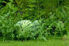 6 Tips to growing healthy watermelons. It's well worth heeding these tips so that you can enjoy nutritious, delicious watermelon later on. - I'm craving some watermelon too! Fruit Garden, Edible Garden, Garden Plants, Farm Gardens, Outdoor Gardens, Organic Gardening, Gardening Tips, Vegetable Gardening, How To Grow Watermelon