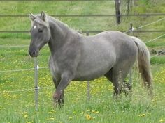 True silver grulla.  LOVE the color and silver expression on this horse!  My goal for AQHA.