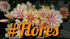 Planta suculenta - Lewisia cotyledon