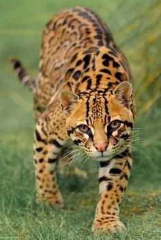 The ocelot (Leopardus pardalis) is a wild cat distributed extensively within South America including the islands of Trinidad and Margarita, Central America, and Mexico. It has been reported as far north as Texas