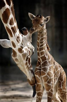 Sweet baby giraffe!