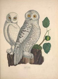 Illustrations of the American ornithology of Alexander Wilson and Charles Lucian Bonaparte : Edinburgh :Frazer & Co; 1835. BioDivLibrary
