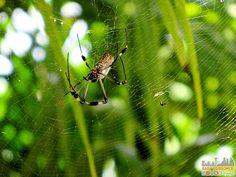 Playa Estrella Panama - Spider