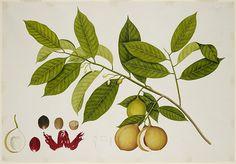 Untitled - caption: 'Nutmeg Tree'   Flickr - Photo Sharing!