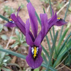 J. S. Dijt reticulata iris