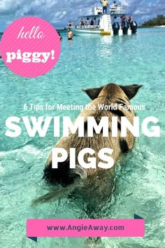 Tip for visiting the famous swimming pigs in Exuma, Bahamas